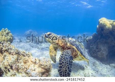 a hawaiian sea turtle - stock photo