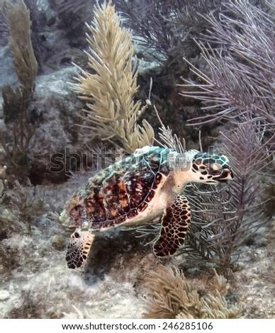 A Hawksbill sea turtle swims along Molasses Reef in Key Largo, Florida. - stock photo