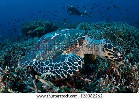A Hawksbill turtle (Eretmochelys imbricata) feeds on a coral reef near Komodo National Park.  This is a critically endangered species. - stock photo