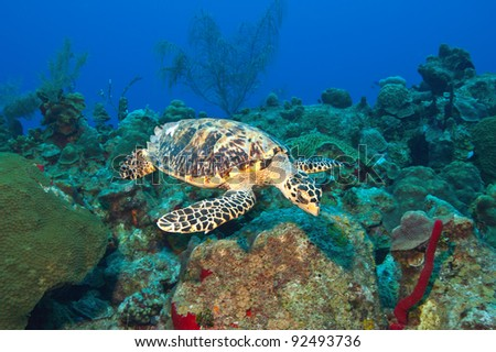 A Hawksbill turtle skims the reef looking for algae to graze on.