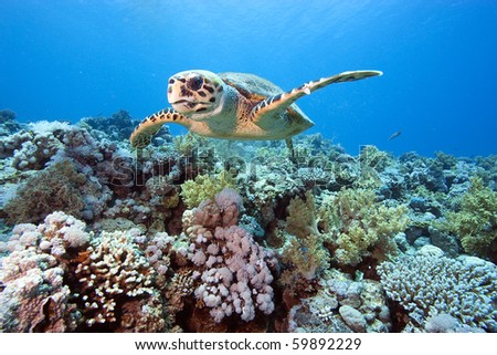 A Hawksbill Turtle swims low over a coral reef populated with hard and soft corals, full of color. - stock photo