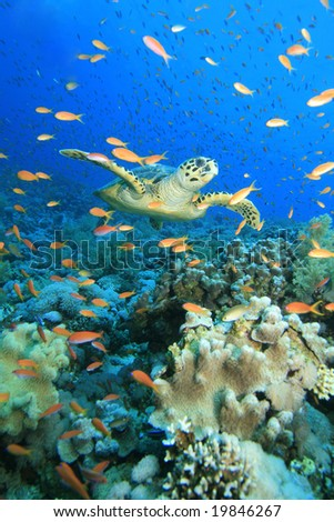 A Hawksbill Turtle swims through a cloud of anthias in the Red Sea