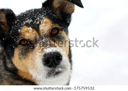 a head and shoulders portrait of a cute German Shepherd Mix Breed dog looking at the camera with snow on his nose and isolated on a snow white background with  copyspace.  Shallow depth of field. - stock photo