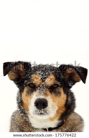 a head and shoulders portrait of a cute German Shepherd Mix Breed dog looking at the camera with snow on his nose and isolated on a snow white background with room for text, copyspace. - stock photo
