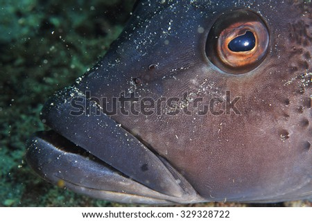 A head close-up shot of Blue cod Parapercis colias. - stock photo