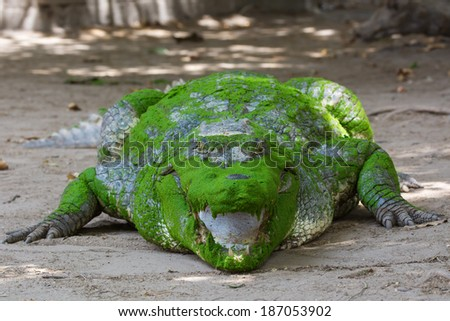 A head on view of a West African Crocodile (Crocodylus suchus) - stock photo