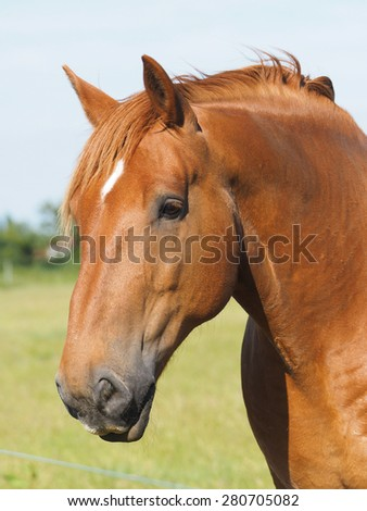 A head shot of a chestnut horse.