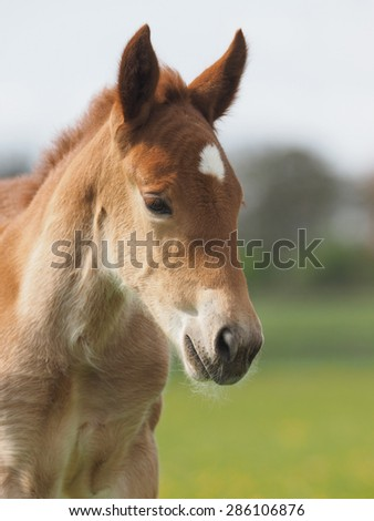 A head shot of a chestnut Suffolk Punch foal.