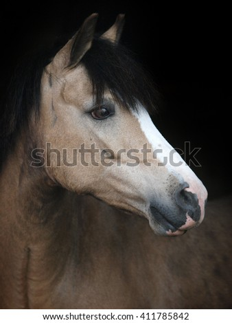 A head shot of a dun welsh pony against a black background.