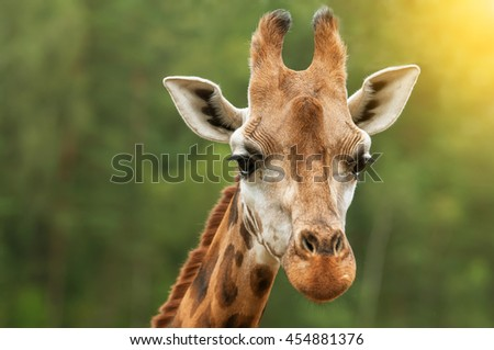 A head shot of a giraffe with nice blurred background in sunset lights - stock photo