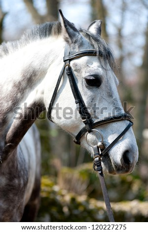 A head shot of a grey horse