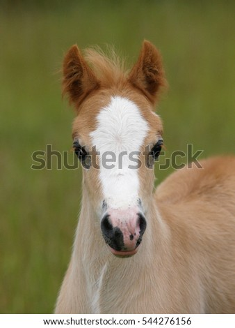 A head shot of a pretty Welsh foal in a paddock.