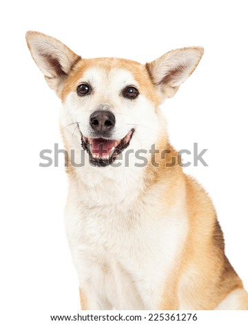 A head shot of a smiling Australian Cattle and Shiba Inu mix dog looking into the camera.