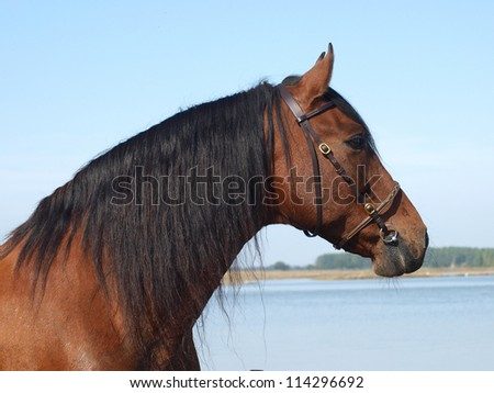 A head shot of a Spanish Horse in bridle.