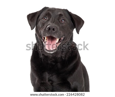A head shot of a very happy Labrador Retriever Dog. Mouth is open.