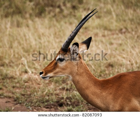 A head shot of a young male Impala antelope. The Serengeti, Tanzania - stock photo