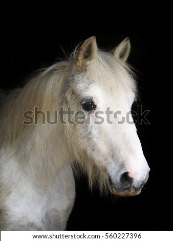 A head shot of an old grey pony against a black background.