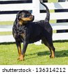 A healthy, beautiful, robust and proudly looking Rottweiler standing on the lawn. Rotweillers are well known for being intelligent dogs and very good protectors. - stock photo