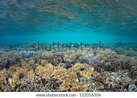A healthy coral reef grows in the shallows of Raja Ampat, Indonesia.  This region is thought to be the heart of marine biological diversity.  The diving and snorkeling here is outstanding. - stock photo