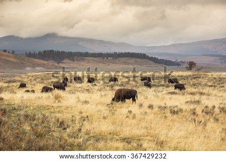 A heard of bisons in Hayden Valley, Yellowstone National Park. - stock photo