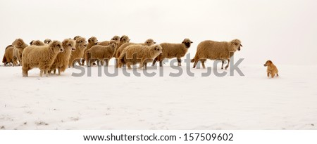 A heard of sheep leading a dog in a winter white landscape. - stock photo