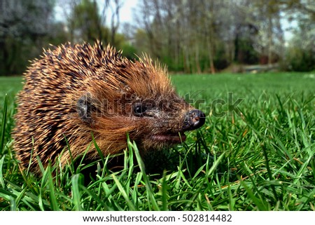 a hedgehog in springtime