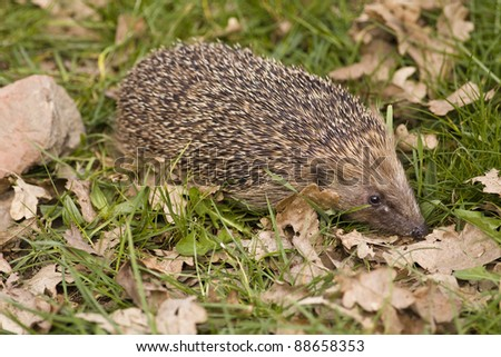 A hedgehog on grass in daylight with autumn leaves. - stock photo