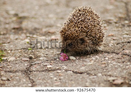 A hedgehog smelling a flower on the road - stock photo
