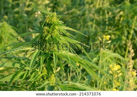 A hemp plant in the light of the setting sun - stock photo
