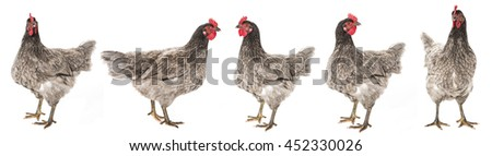 a hen - chicken isolated on white background - stock photo