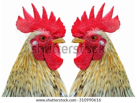 A hen is a laying hen of white color. With a large comb. - stock photo