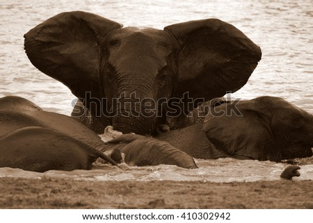 A herd of African elephant's splashing,playing and drinking at a waterhole. Taken on safari in the Eastern cape,south africa