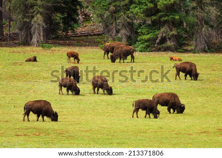 A herd of American Bison graze in a meadow near the North Rim of Grand Canyon National Park, Arizona, USA.