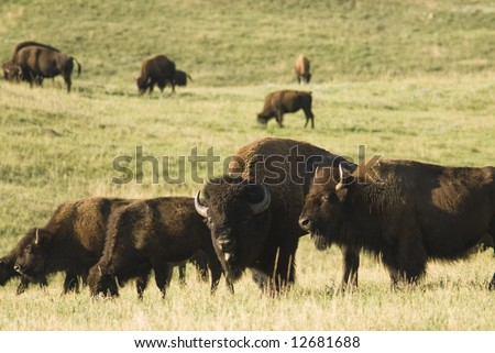 a herd of American buffalo grazing in Custer State Park in the Black Hills of South Dakota. The largest land mammal in North America. - stock photo