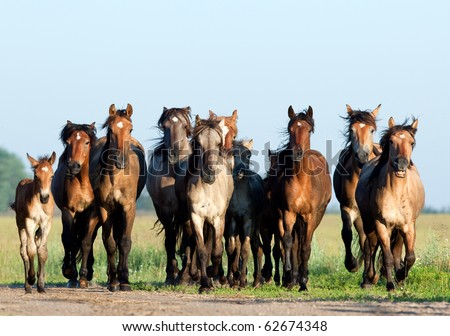 A herd of Belorussian harness horses in field. - stock photo