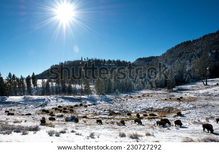 A herd of bison feeding in the winter - stock photo