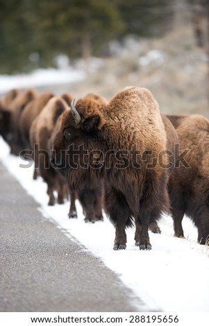 A herd of bison walking down a road in Yellowstone National Park