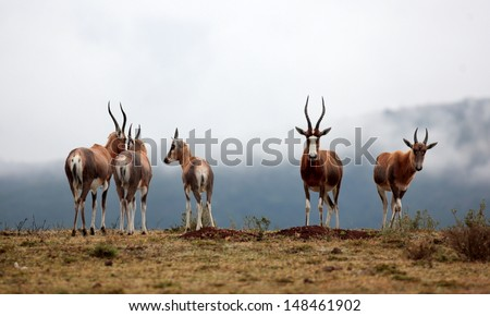 A herd of Blesbuck with a misty mountain background. Taken in South Africa.  - stock photo