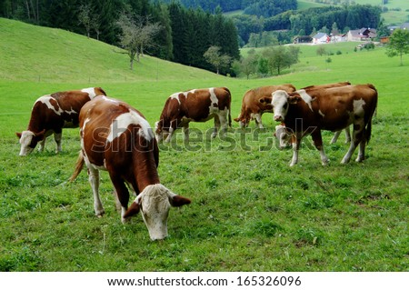 A herd of brown and white cows on a pasture in the Black Forest, ruminant; view in the valley/Brown and white cows - stock photo