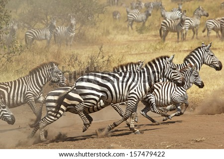 A herd of common zebras (Equus Quagga) galloping in Serengeti National Park, Tanzania - stock photo