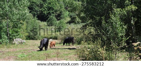 A herd of cows grazing in the Alpine meadow - stock photo