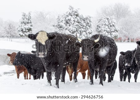 A herd of cows in a snowy pasture - stock photo
