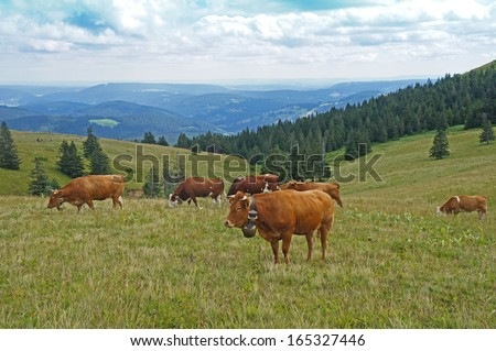 A herd of cows on a pasture in the Black Forest, brown and brown-white cows; ruminant; view on the mountains of the Black Forest in Germany/A herd of cows in the Black Forest - stock photo