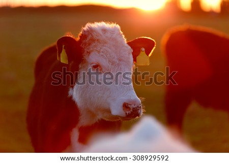 A herd of cows on the meadow lane enjoying the idyllic conditions of the West of Ireland - stock photo