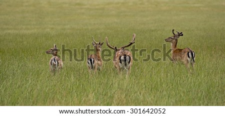 A herd of deer eating in high grass on Danish meadow. - stock photo