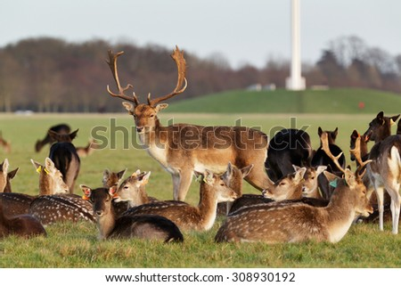 A herd of deer in the Phoenix Park in Dublin, Ireland, one of the largest walled city parks in Europe of a size of 1750 acres - stock photo