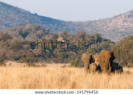 A herd of dusty elephants wandering through tall grass - stock photo