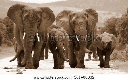 A herd of elephant approach as they walk down the road in this monochrome portrait taken in Addo Elephant Park, Eastern Cape,South Africa - stock photo