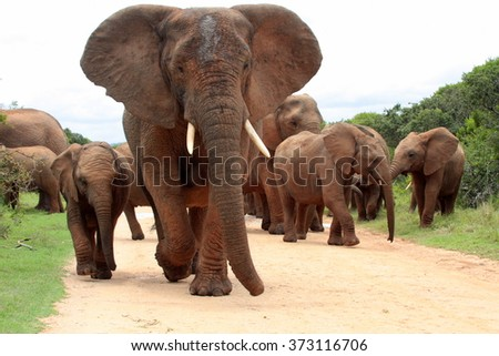 A herd of elephant walk towards the camera.Taken in Addo Elephant National Park, South Africa