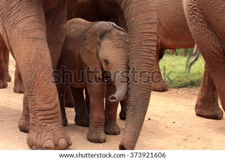 A herd of elephant walk towards the camera. They surrounding and protecting the new baby elephant. Taken in Addo Elephant National Park, South Africa - stock photo